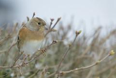Brambling, Fringilla montifringilla (J J McHale) Tags: brambling fringillamontifringilla scotland snow bird wing highlands nature wildlife birdwatcher