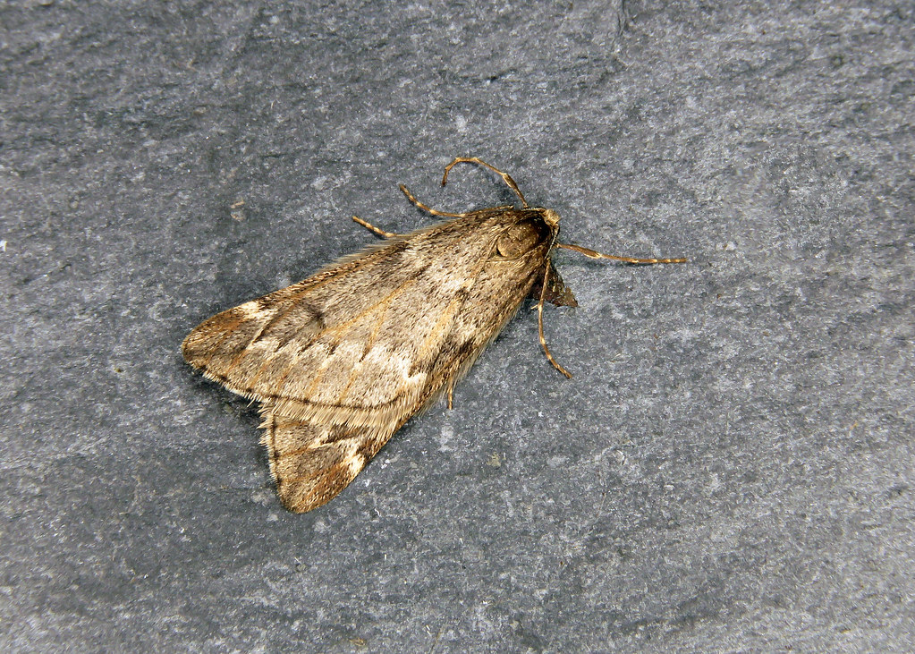 70.245 March Moth - Alsophila aescularia