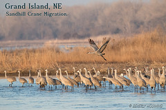 Sandhill_Cranes-01 (Beverly Houwing) Tags: nebraska sandhillcranes plattriver migration spring birds conservation cranetrust sanctuary protected takeoff fly flight group crowd grey gray unitedstates midwest