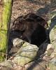MWE-20180325-009 - bewerkt.jpg (Schuttermajoor1974) Tags: ouwehandsdierenpark berenbos bruinebeer dierentuin rhenen utrecht nederland nl
