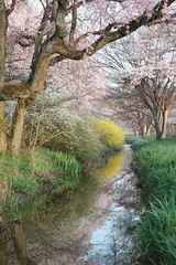 Spring Mildness (seiji2012) Tags: 八王子市 桜 小川 レンギョウ cherryblossom creek reflection morning hachioji