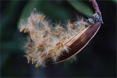 fluffy,  oleander capsule (atsjebosma) Tags: capsule zaaddoos oleander fluffy pluisjes uitgebloeid bloem flower atsjebosma spain spanje villajoyosa coth5 ngc npc