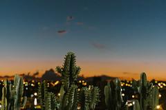 Sunset Cactus (www.adrianosobralfotografias.com.br) Tags: adrianosobral adrianosobralfotografia fotografiasorocaba photo photographer sorocaba cactus sunset cityscape lights city citylights brazil sky nature