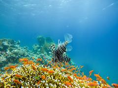 King Lionfish (Niklas FliNdt) Tags: lionfish feuerfisch fish coral orange blue redsea travel underwater water sea diving freediving