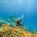 King Lionfish