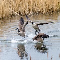Squabble (iantaylor19) Tags: warwickshire wildlife trust brandon marsh