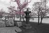 DC Cherry Blossom 2018 (KrsnaPixels) Tags: cherry washington dc tidal basin monument japanese garden sakura blossoms fragility beauty national outdoor blossom festival spring beautiful people