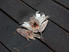 Fish Heads (mikecogh) Tags: grange fishheads bait crabbing jetty dead dismembered cut