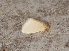 Nygmiini sp. (dhobern) Tags: 2018 china lepidoptera march xtbg xishuangbanna yunnan lymantriidae nygmiini
