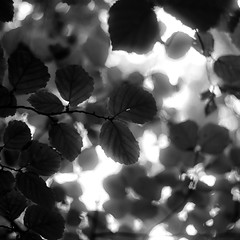 Up Through Trees 043 (noahbw) Tags: d5000 dof mccormickwoodsnaturepreserve nikon abstract blackwhite blackandwhite blur branches bw depthoffield forest leaves light monochrome natural noahbw shadow square trees woods upthroughtrees