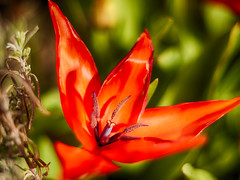 Shareholder value (BeMo52) Tags: blume flora flower frühjahr macro makro natur nature pflanze plant spring tulip tulpe zwiebel springflower smileonsaturday blüte