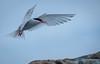 Antarctic Tern (scottshooter) Tags: tern antarctic