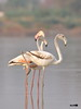 Greater Flamingo (harshithjv) Tags: bird birding largebird wader flamingo greaterflamingo phoenicopterus roseus phoenicopteriformes phoenicopteridae aves avian red scarlet pink canon 80d tamron bigron g2