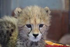 Adorable (greekgal.esm) Tags: cheetah cheetahcub cub bigcat cat feline animal mammal carnivore sandiegozoosafaripark sdzsafaripark safaripark escondido sony rx10m3 rx10iii