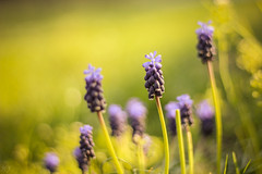 Grape Hyacinth (Hasan Yuzeir 📷) Tags: grape hyacinth spring colorful sunny light macro focus hasanyuzeir canon 1300d