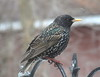 European Starling IMG_8736 (Ted_Roger_Karson) Tags: birds birdfeeder canon powershot sx700 hs miniature compact pocket camera male cardinal seed cake northern illinois 30x zoom back yard friends animals bird feeder suet telephoto thisisexcellent twop test photo hand held minicompact