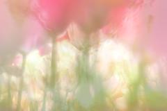 Tulip / チューリップ (Hideo N) Tags: tulip チューリップ trioplan xt1 spring 春 nature fantasticflower