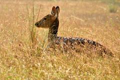 Spotted..... Deer (pallab seth) Tags: chital spotteddeer axisaxis cheetal deer female nature wild forest nationalpark betla palamou jharkhand evening india animal jeepsafari stag