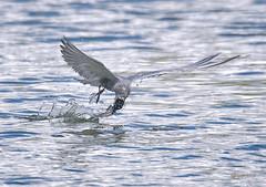 Tern Strike (Grandpa@50) Tags: challenge you winner cyunanimous