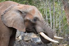 African bush elephant (Cloudtail the Snow Leopard) Tags: elefant afrikanischer tier animal mammal säugetier dickhäuter loxodonta africana african bush savanna elephant zoo amneville