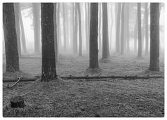Dartmoor (don't count the pixels) Tags: devon dartmoor houndtor houndofthebaskervilles mist fog trees blackandwhite monochrome silverefexpro