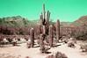 (orangedot777) Tags: tucson catalinamountains santacatalina saguaro saguarocactus cactus arizona cactuscountry lomochromepurple