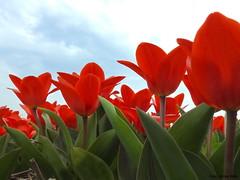 Tulips (Corine Bliek) Tags: colours spring bulbd bulbfields bollenvelden bollenstreek bloemen flowers colourfull kleuren kleurrijk voorjaar