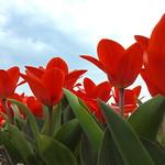 Tulips thumbnail