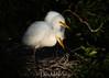Great White Egret chicks (DonMiller_ToGo) Tags: midnight venicerookery greatwhiteegret nature nik birds outdoors birdwatching rookery d810 wildlife florida