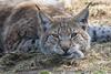 watching (grasso.gino) Tags: katze cat luchs lynx tiere animals natur nature wildpark granat nikon d5200