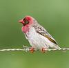 ZA1A5221 (AJAY B2010) Tags: quelae quelaeredbilled westerncapebirding overbergbirding southafricanbirding smallbirds ajaybhoopchand bhoopchand