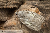 White-blotched Balsa - Hodges#9664 (Balsa labecula) 20180402_5285.jpg (Abbott Nature Photography) Tags: neoptera noctuoidea lepidopterabutterfliesmoths organismseukaryotes endopterygota pterygota animals noctuidaeowletmothsmillermoths arthropodaarthropods hexapoda invertebratainvertebrates insectainsects moth gordo alabama unitedstates us