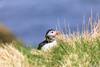 AY6A9097 (fcruse) Tags: cruse crusefoto travelphotography resefoto shetlandislands canonmarkiv puffin djur sumburghheadlighthouse naturfoto naturephotography sweden se shetlandsöarna lunnefågel fåglar