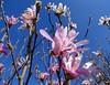 """Rosa Stern-Magnolie / Pink Star Magnolia / (Magnolia stellata Rosea) (warata) Tags: 2018 deutschland germany süddeutschland southerngermany schwaben swabia oberschwaben """"upper swabiaschwäbisches oberland badenwürttemberg fruhling spring blume blüte pflanze natur """"magnolia stellata rosea"""" sternmagnolie magnolie"""