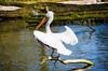 Animals. (ost_jean) Tags: pelican pelikaan animals dieren animaux nikon d5200 7003000 mm f4563 ostjean