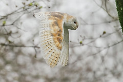 BARN OWL (_jypictures) Tags: animalphotography animals animal canon7d canon canonphotography wildlife wildlifephotography wiltshire nature naturephotography photography pictures birdphotography bird birds birdwatching birdingphotography birding birders barnowl owl