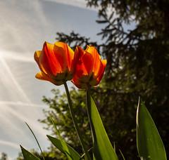 Back again / Elles sont revenues (dbrothier) Tags: tulipes tulip backlight closeup smileonsaturday backlitcloseup eos6d canon6d canonef1740mmf4lusm garden jardin flowers fleurs 7dwf flora