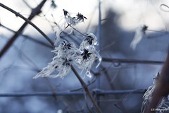 Vent glacial (Camille.45) Tags: gel froid hiver neige blanc macro