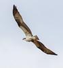 Incoming Nest Builder (John Kocijanski) Tags: osprey bird birdofprey raptor animal wings flight flying wildlife nature canon7d canon70300mmllens hss