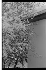 P61-2018-022 (lianefinch) Tags: argentique argentic analogique analog monochrome blackandwhite blackwhite bw noirblanc noiretblanc nb nature neige snow winter hiver white blanc noir graphic graphique garden jardin chalet house