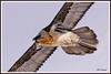 Gypaète gros plan 180314-01-RP (paul.vetter) Tags: oiseau ornithologie ornithology faune animal bird gypaètebarbu gypaetusbarbatus bartgeier quebrantahuesos beardedvulture vautour rapace
