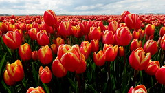 BANT, THE NETHERLANDS (pwitterholt) Tags: bant tulip tulips tulipfields tulp tulpen tulpenvelden noordoostpolder orange oranje canon canonsx40 canonpowershotsx40hs canonpowershot flevoland
