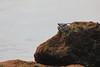 Hawaiian black crab (steveboer.com) Tags: crab black rock aama grapsustenuicrustatus grapsus hawaii hawaiian water ocean sea landscape coast beach outdoors noperson outdoor animal seashore terrain sealife travel wildlife rocky nature animalplanet