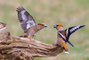 The seeds are mine!!!!! (ozrot) Tags: hawfinch quarrel conflict birds outdoor