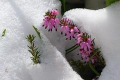 Heide im Schnee (ivlys) Tags: darmstadt minigarden garten heidekraut heather pflanze plant blüte blossom schnee snow natur nature ivlys