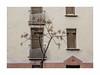 Ballade (hélène chantemerle) Tags: façade fenêtres arbre rue lignes ocre jaune brun rose front windows tree street lines ocher brown yellow rosy