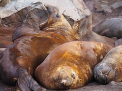 Elephant seals at Elephant Point (grobie) Tags: antarctica seals elephantseals