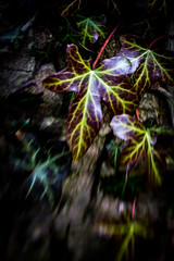 Ivy (judy dean) Tags: judydean 2018 ivy plant lensbaby