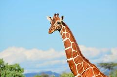 Сетчатый жираф, Giraffa camelopardalis reticulata, Reticulated Giraffe (Oleg Nomad) Tags: сетчатыйжираф giraffacamelopardalisreticulata reticulatedgiraffe африка кения самбуру сафари животные млекопитающие природа africa kenya samburu nature animals safari mammals travel