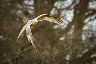 White Red Kite.jpg